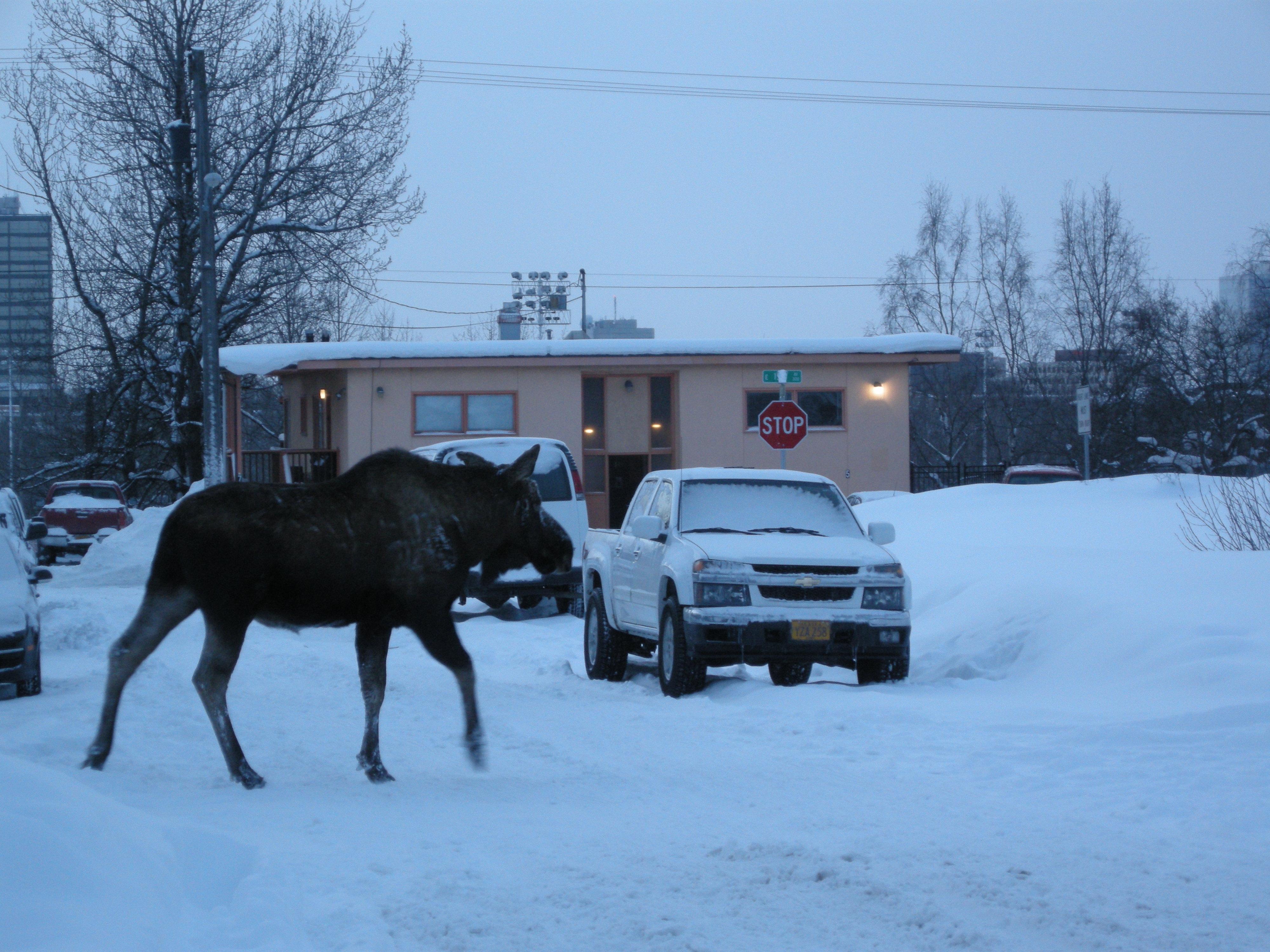 city moose in anchorage alaska arctic anthropology