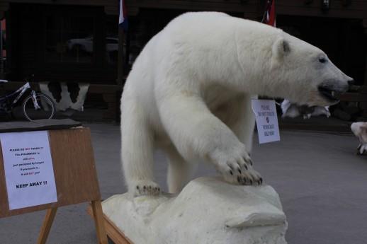 Svalbard_Polar_bear_street