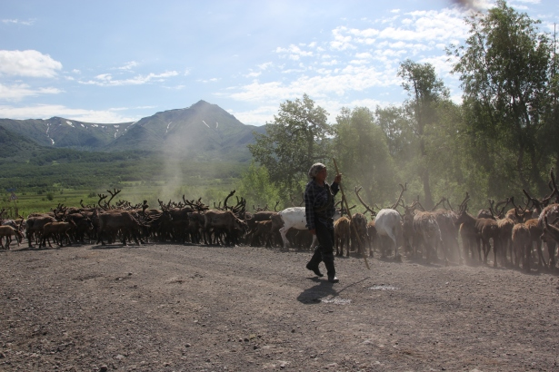 Kiryak Petrovich Adukanov from the Bystrynski Raion in Kamchatka, driving his herd over a road leading to the Shanuch Nickel Deposit