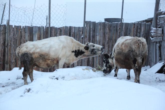 The cows Khatalyk and Dais feeding outdoors