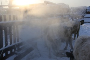water drinking at minus 30 or lower - a daily activity for the Sakha cattle