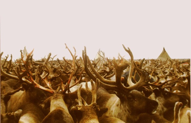 reindeer_sea_of